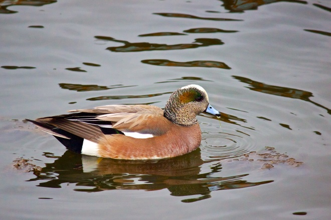 A colourful drake duck drifting across the water