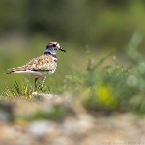 A Killdeer takes a quick break from running around