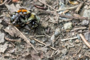 a bumble bee lies on the path