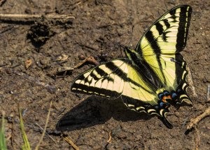 A lone colourful butterfly rests in the mud