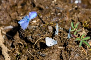 several blue butterflies sitting in the mud with one fluttering by