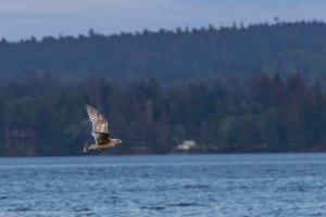 A lone seagull in flight