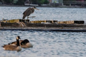 A heron goose stepping infront of some Canada Geese