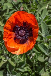 a large bright reddish-orange poppy