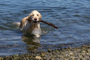 Happy Retrieving