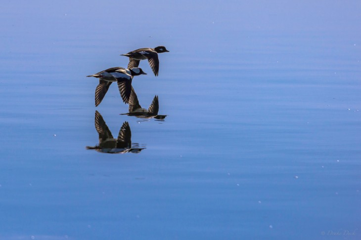 two ducks flying low over the water
