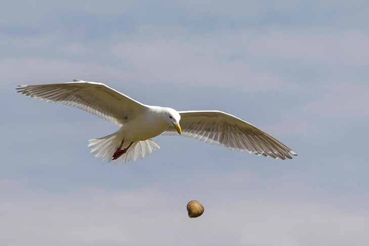 seagull in flight drops a clam to break it open