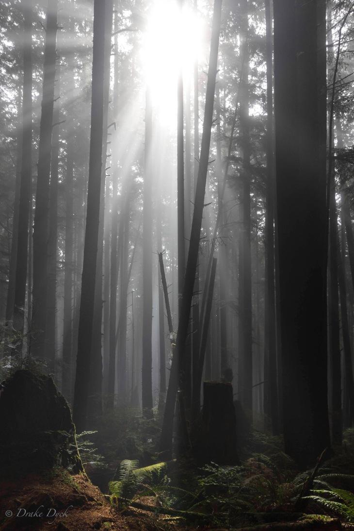foggy trees-1