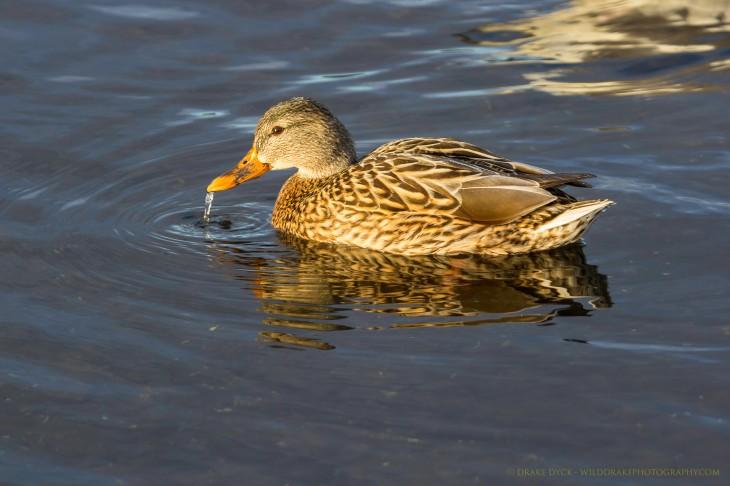 drinking duck
