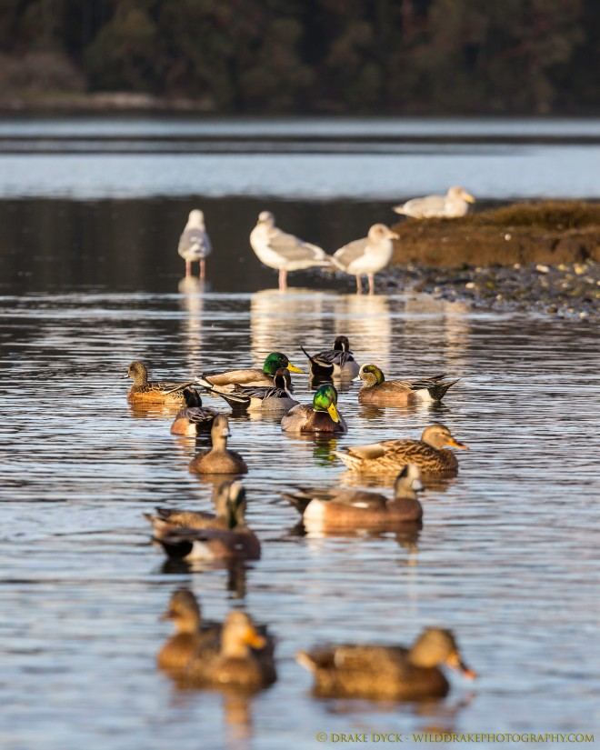 ducks and seagulls on the water
