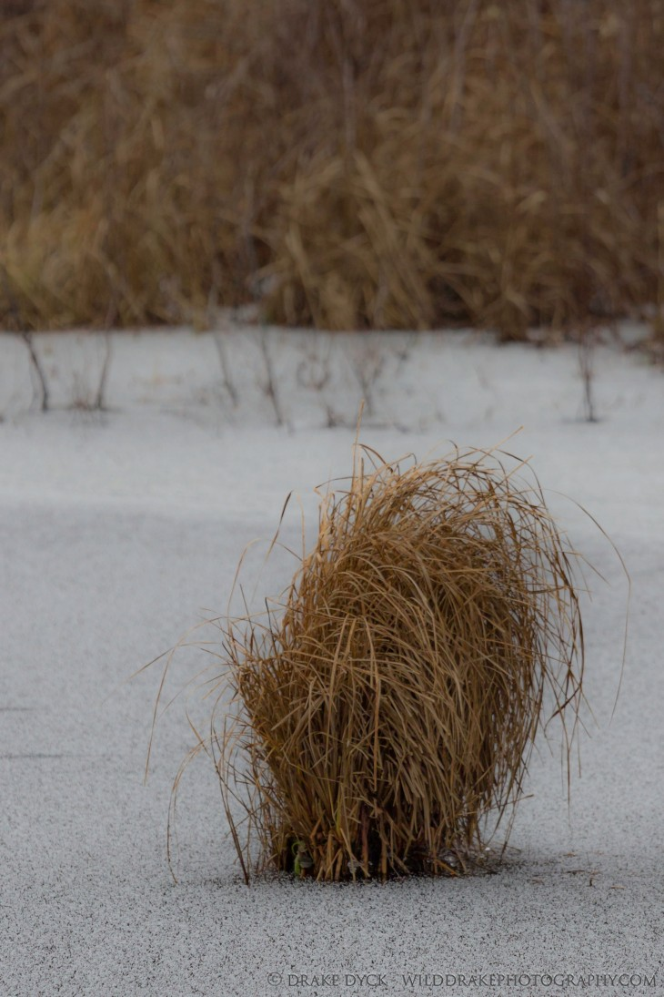 A clump of grass pokes through an ice covered lake