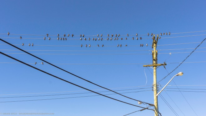 A flock of pigeons on power lines