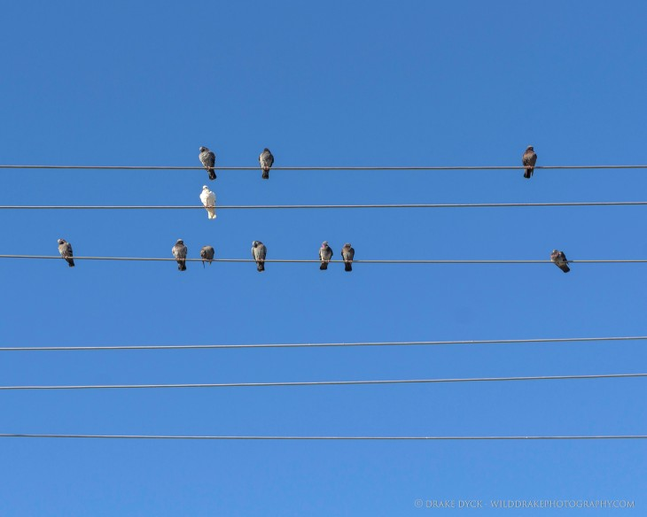White bird alone on a wire while others on other wires