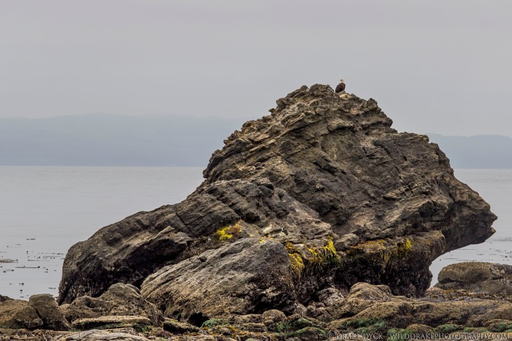 a raptor perched on top a large boulder by the sea