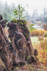 Tree From Stump