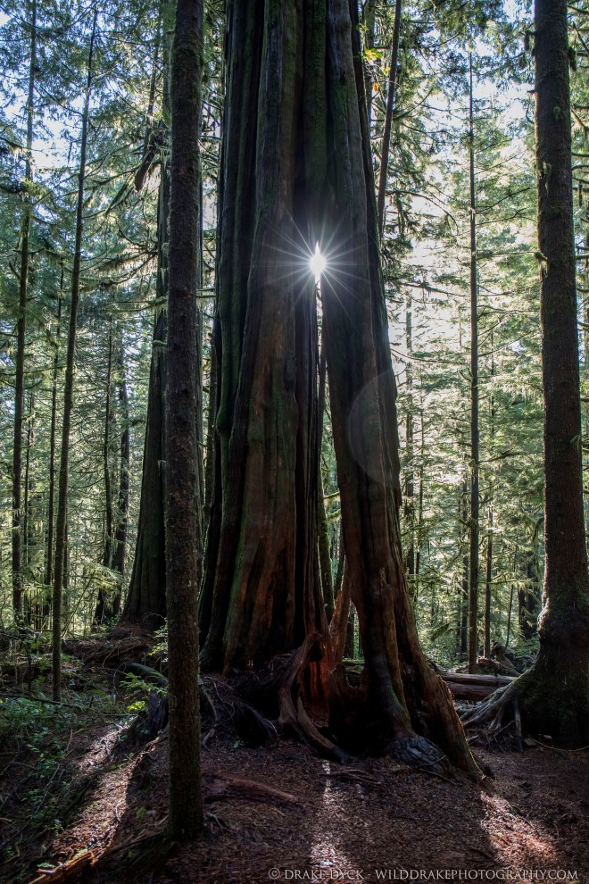 the sun shines thru a crack in a giant old growth tree in Avatar Grove forest