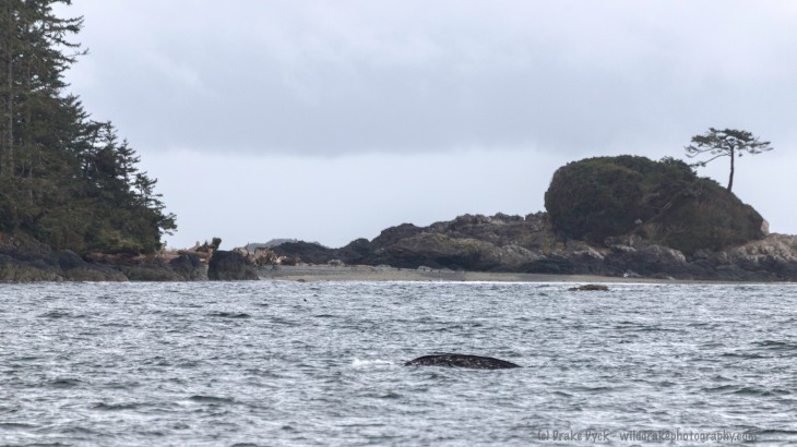 a whale back in the ocean in front of a small island with a tree