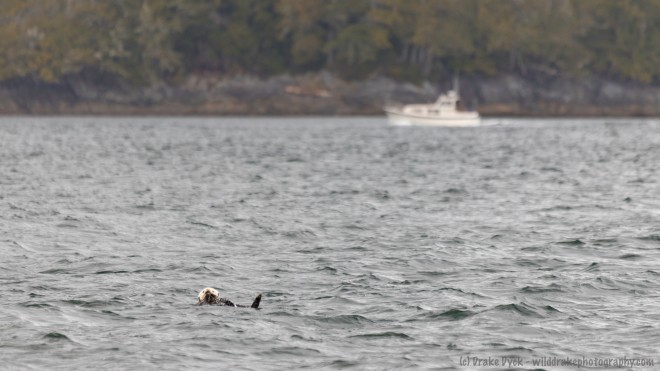as a boat passes in the distance, a sea otter bobs in the waves
