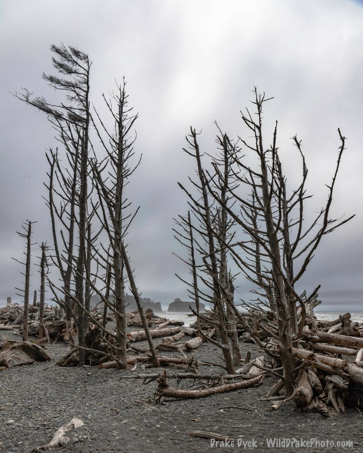 driftwood and standing dead trees at Rialto beach, Olympic Peninsula