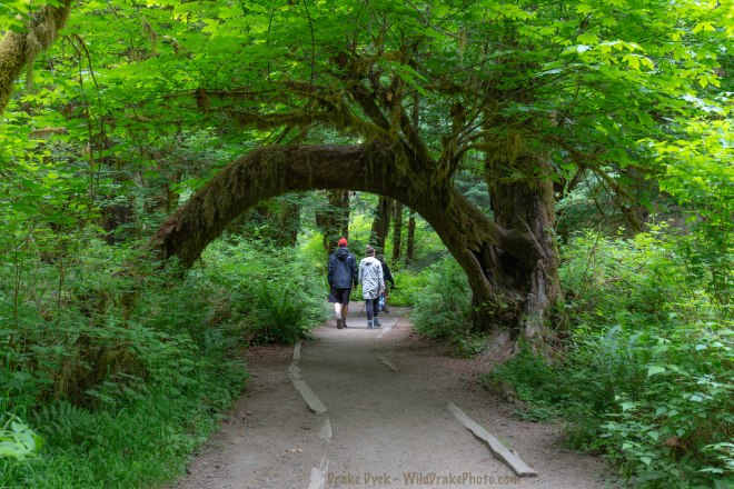 people walking a pathway under the arch of a tree in a green forest