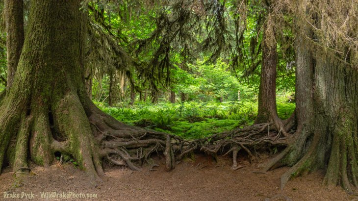 trees in the rainforest with a tangle of roots