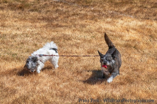 two dogs connected together by a leash wandering on grass
